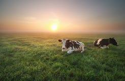 Расслабленные коровы на выгоне на восходе солнца Стоковые Изображения RF