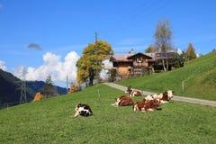 Расслабленные коровы на день осени Стоковые Фотографии RF