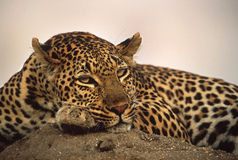 Расслабленный леопард Стоковое Фото