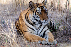 Расслабленный и beguiling тигр Стоковая Фотография