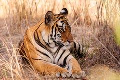 Расслабленный тигр Стоковые Фотографии RF