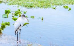 Расслабляющая белая птица деревянного аиста на озере в зиме Стоковые Изображения