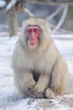 Расслабляющая обезьяна - изображение запаса Стоковые Изображения RF