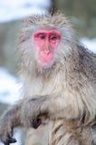 Расслабляющая обезьяна - изображение запаса Стоковая Фотография RF