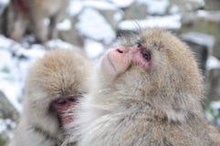 Расслабляющая обезьяна - изображение запаса Стоковое фото RF