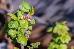Растворите бутоны смородины весны Стоковое фото RF