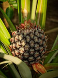 Расти ананаса Стоковая Фотография RF