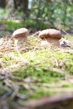 Расти 2 белых CEP Стоковое Фото