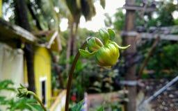 расти бутона Стоковая Фотография RF