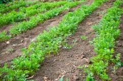Расти в рядах петрушки на поле Стоковые Фото