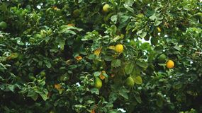 Расти дерева мандарина Стоковые Фото