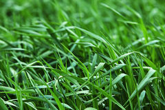 расти зеленого цвета ячменя Стоковая Фотография RF