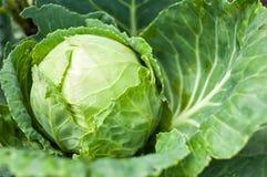 Расти капусты головной на vegetable кровати Стоковое фото RF