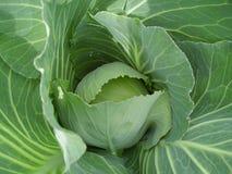 расти капусты Стоковое фото RF