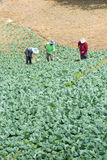 расти капусты Стоковая Фотография