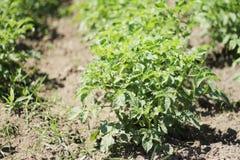 Расти картошки Стоковая Фотография