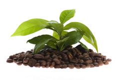 расти кофе Стоковое Изображение