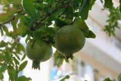 Расти на ветви нет пока зрелых плодоовощей гранатового дерева Стоковые Фото