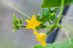 Расти огурца и цветков на лозах стоковое изображение