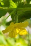 расти огурца Стоковые Фотографии RF