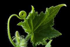 расти огурца Стоковые Фото