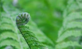 расти папоротника Стоковые Фотографии RF