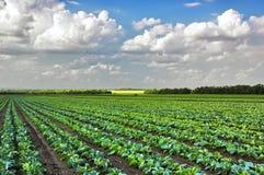 расти поля капусты Стоковое Фото