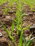 расти поля урожая стоковые изображения rf