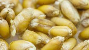 Расти пшеницы
