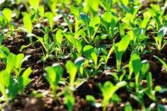 Расти ростков суммы Choy Стоковые Изображения