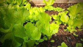 Расти салатов Стоковое Изображение RF