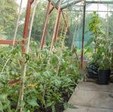 Расти томатов Стоковые Изображения RF