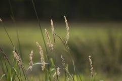 расти травы поля Стоковые Фото