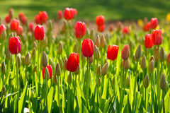 Расти тюльпанов весны Стоковая Фотография