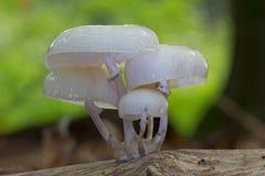 Расти фарфора грибной на мертвой древесине стоковое фото rf