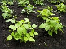 Расти фасолей (фасоли vulgaris) Стоковые Фотографии RF