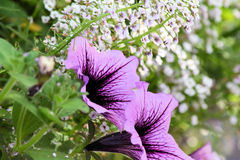 Расти дыхания фиолетового ` s петуний и младенца Стоковая Фотография RF