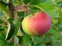 расти яблока Стоковые Фото