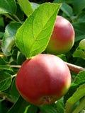 расти яблок Стоковое Фото
