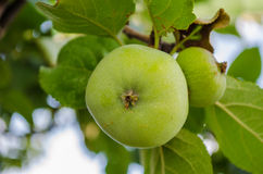 расти яблока Стоковые Фотографии RF