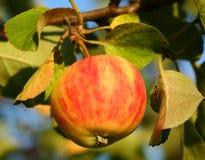 расти яблока Стоковая Фотография