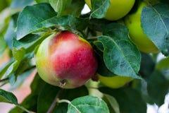расти яблока Стоковое Изображение