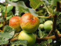 Расти Яблока Стоковое Фото