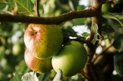Расти Яблока Стоковое фото RF
