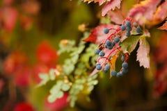 расти ягод Стоковая Фотография