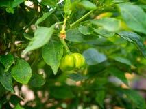 Расти capsicum болгарских перцев стоковое изображение rf