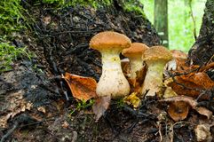 Расти mellea Armillaria грибка меда грибов осени съестной Стоковое Фото