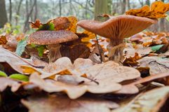 Расти mellea Armillaria грибка меда грибов осени съестной Стоковое Изображение