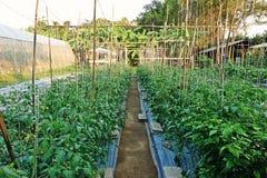 Растут, что с пластичной почвой крышки предотвращает прорастание засорителя и держит Vegetable завод влагу почвы Стоковая Фотография RF