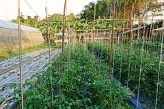Растут, что с пластичной почвой крышки предотвращает прорастание засорителя и держит Vegetable завод влагу почвы Стоковое Фото